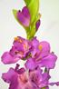 Гладиолус одиночный фиолетовый 106см