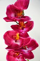 Орхидея Фаленопсис Элегант одиночная бьюти 85см
