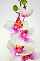 Орхидея Фаленопсис Элегант одиночная розовая 85см