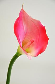 Калла одиночная розовая 70см