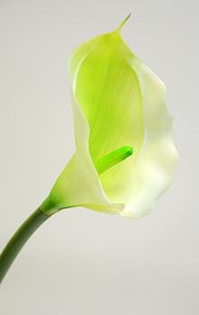 Калла одиночная нежно-зеленая 70см
