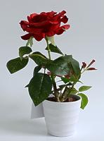 Роза в кашпо 1 цветок красная 30см