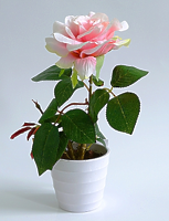 Роза в кашпо 1 цветок Кремовая 30см