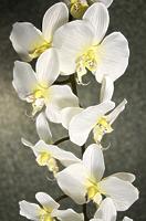 Орхидея Фаленопсис кремовая одиночная 124см