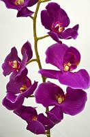 Орхидея Фаленопсис одиночная фиолетовая 102см