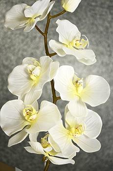 Орхидея Фаленопсис кремовая одиночная 102см